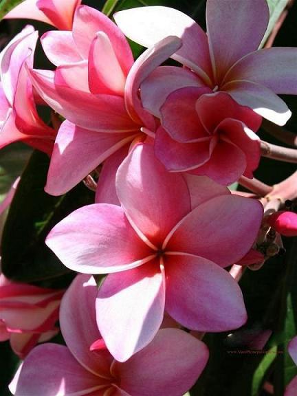 consigli sul matrimonio la plumeliaun fiore esotico