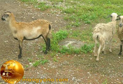 FOTO : Kambing Mbek dan Kambing Gembel.
