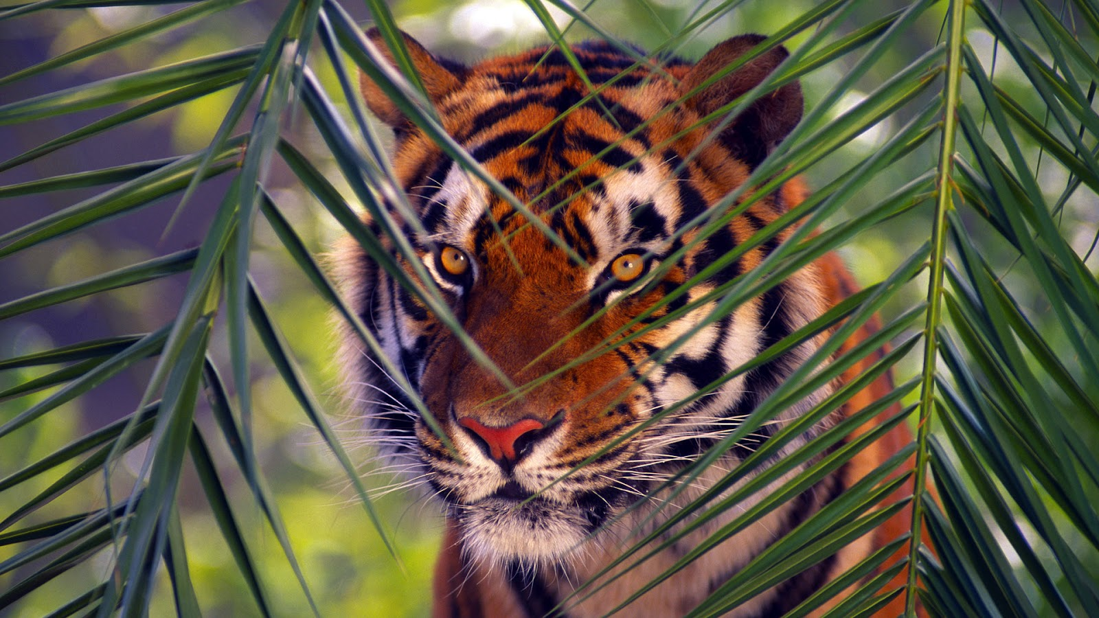 tiger wallpaper | hdwannabig