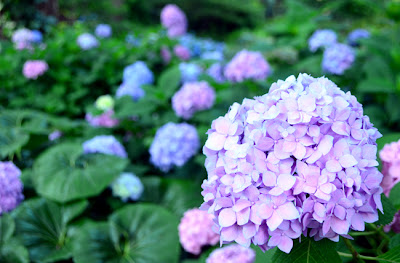 Hydrangea at the Atlanta Botanical Garden