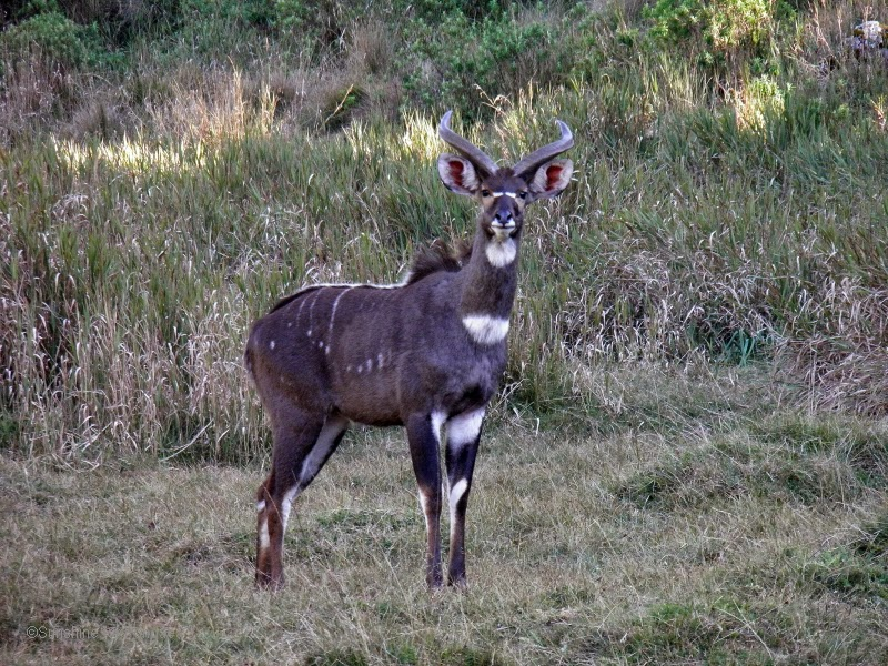Mountain Nyala in the Bale Mountains