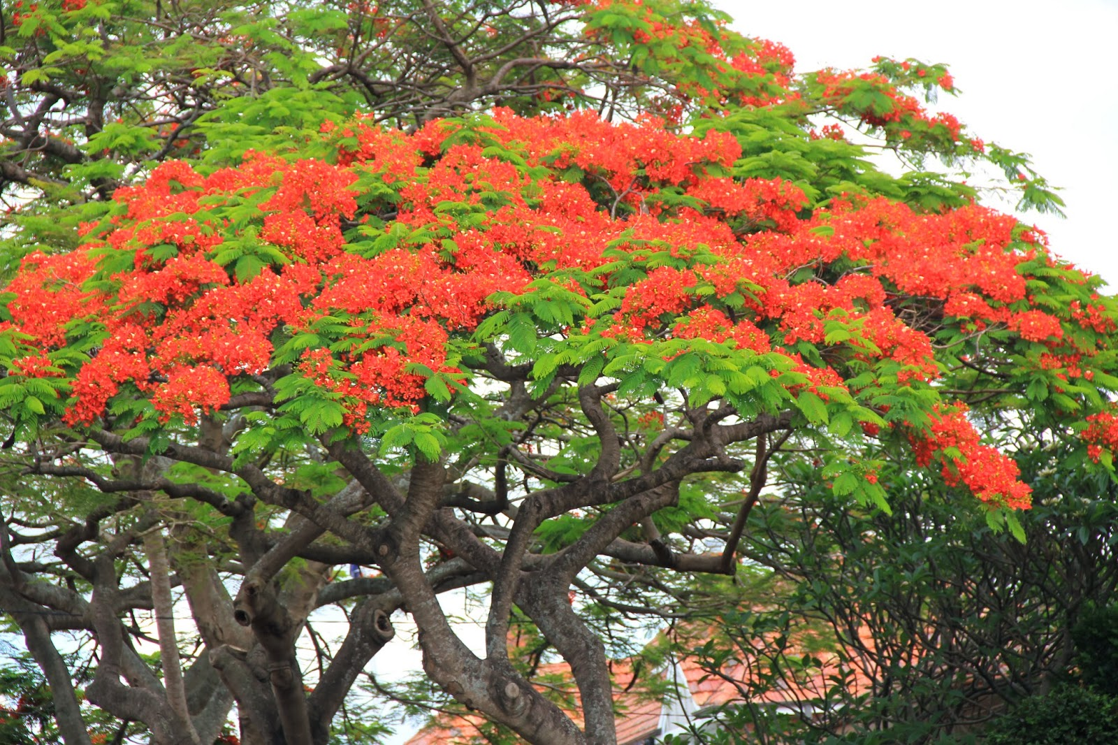 Australia Brisbane Mission The Lovely Poinciana Tree