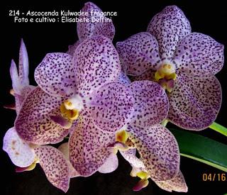 Orquídea com flores semelhantes as da Vanda