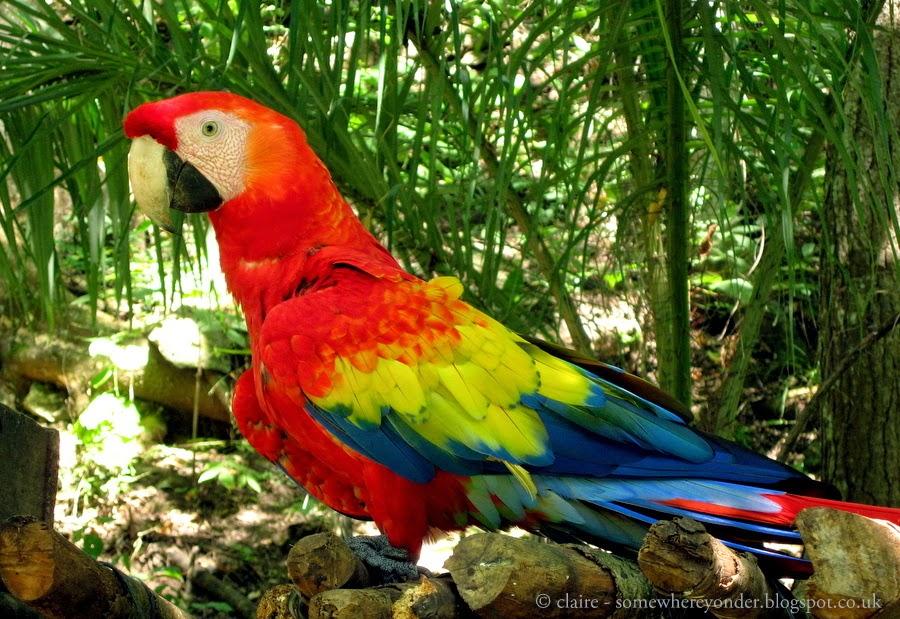 Red Macaw - Copán Ruinas, Honduras
