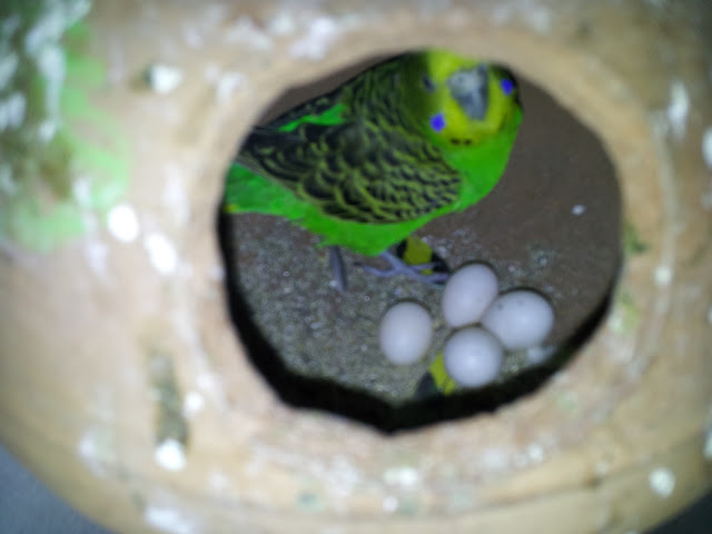 Blue Budgie Baby Blue Budgie Laid 16 Eggs