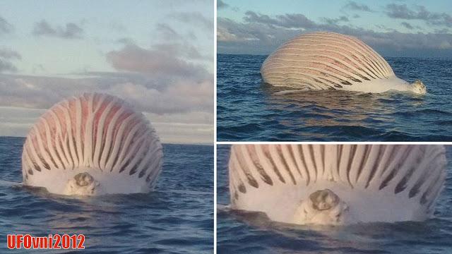 Carcasse de spot baleine gonflé comme Alien pêcheurs confus