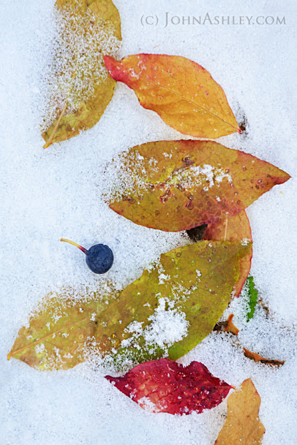 Fallen huckleberry leaves and fruit (c) John Ashley