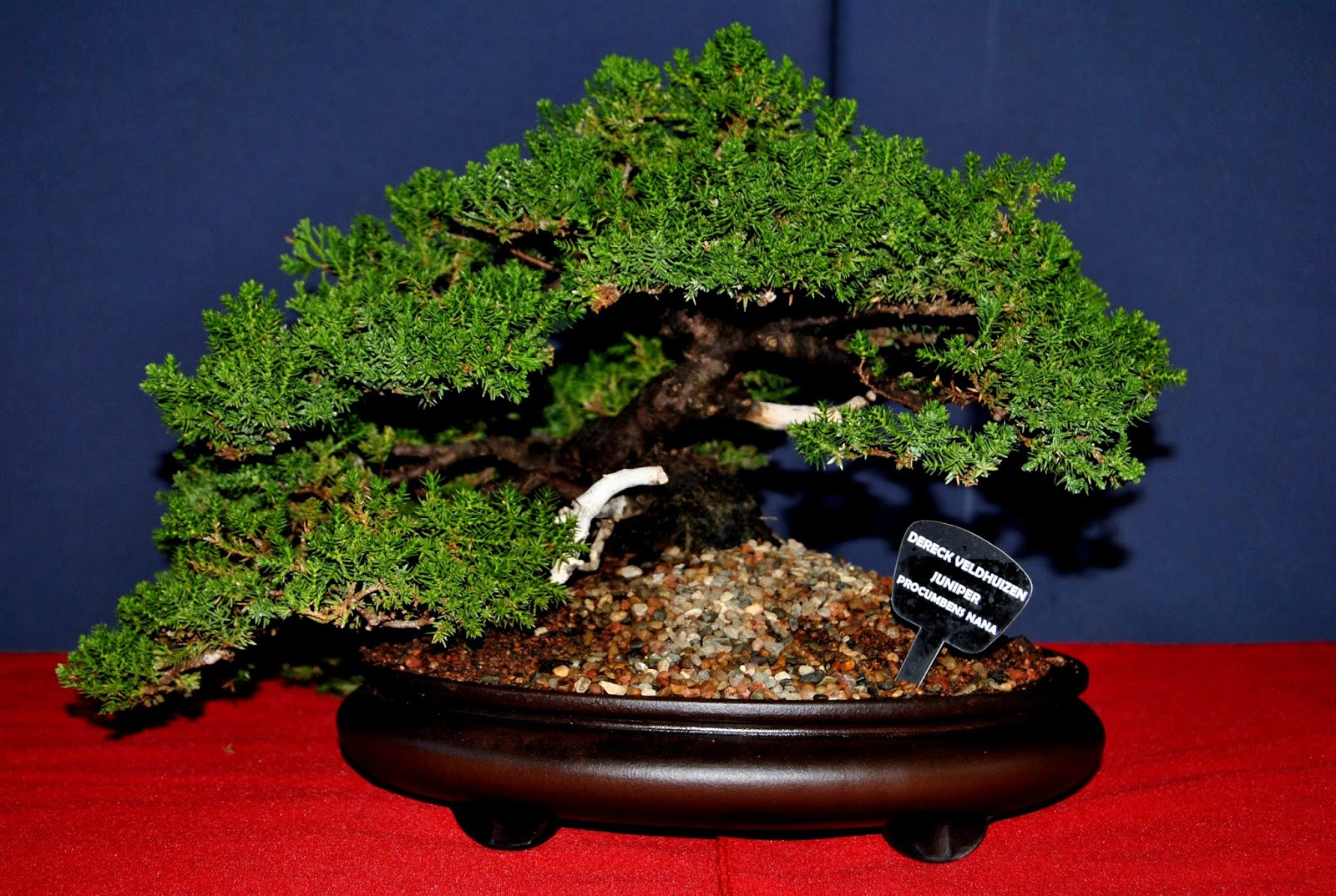 Brat Regional Bonsai Meaning Exhibited Trees LENNARD39S BONSAI