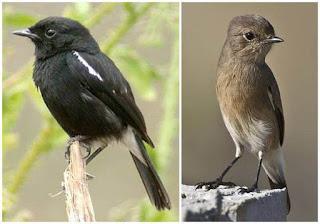 Tips Cara Membedakan Ciri-Ciri Burung Decu Jatantan Dan Decu Betian Dengan Melihat Sayapnya