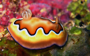 I Love Nudibranchs Blog