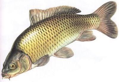 Penyakit Ikan Mas Dan Nila