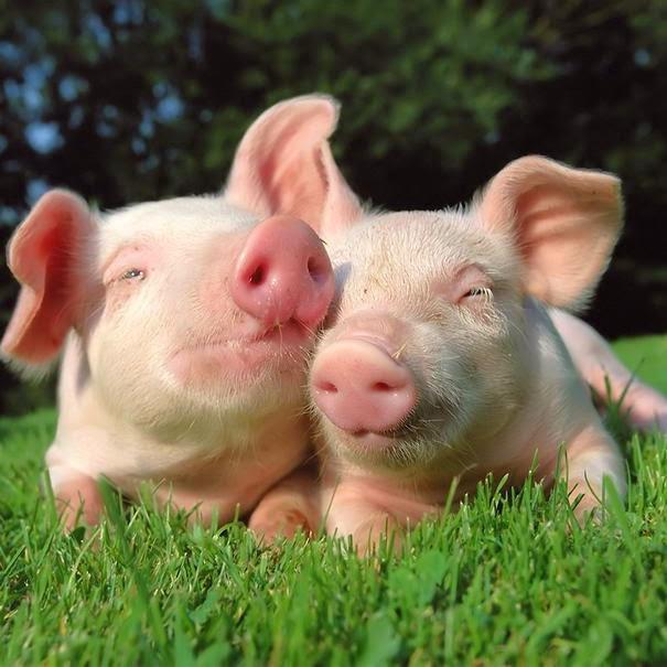 8. Γουρούνι