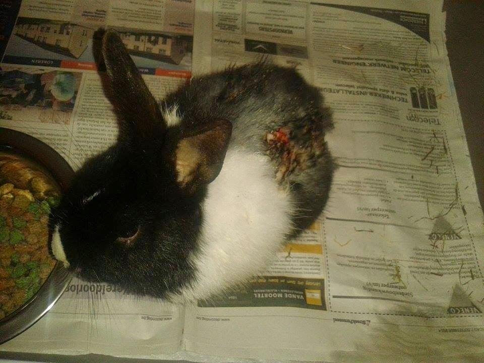 wond konijn ontsmetten