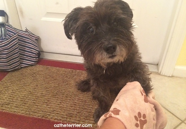 Oz the Terrier dries his wet paws with Luv & Emma's pet towel before entering the house