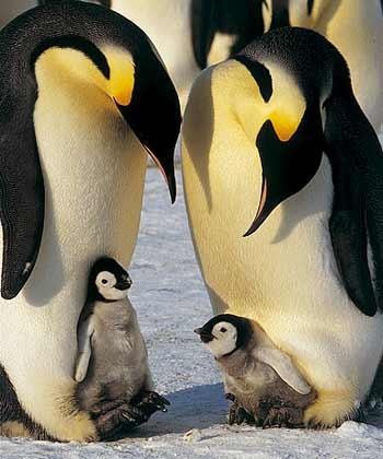 Pingüinos pequeños con su mamá