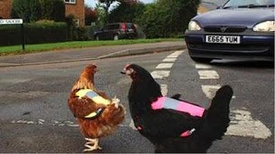 صور جاكيت حماية الدجاج من البرد