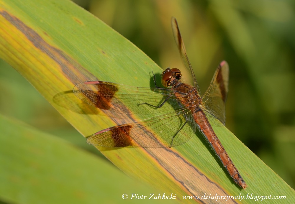 ... - DRAGONFLY WORLD: An unforgettable meeting with the Banded Darter