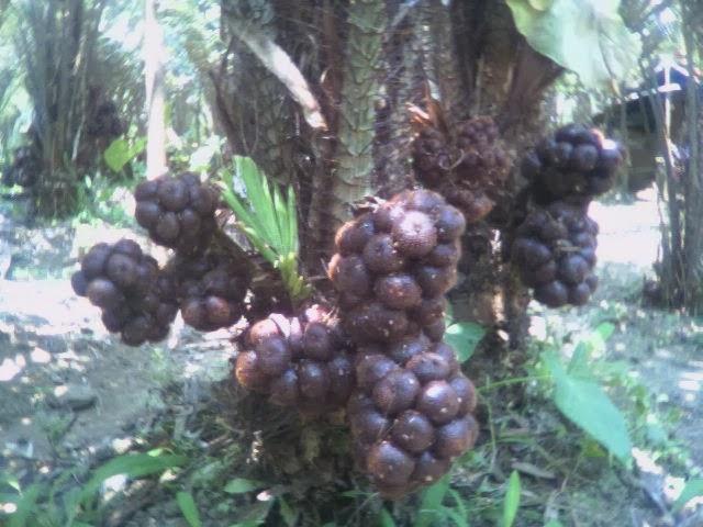 http://penjualanobatherbalalami.blogspot.com/2014/02/informasi-manfaat-buah-salak-bagi.html