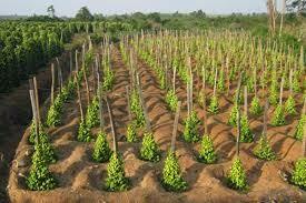 Gia Lai: Nông dân Kbang tự phát mở rộng diện tích hồ tiêu