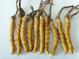 Permalink to Cordyceps Sinensis Health Benefits