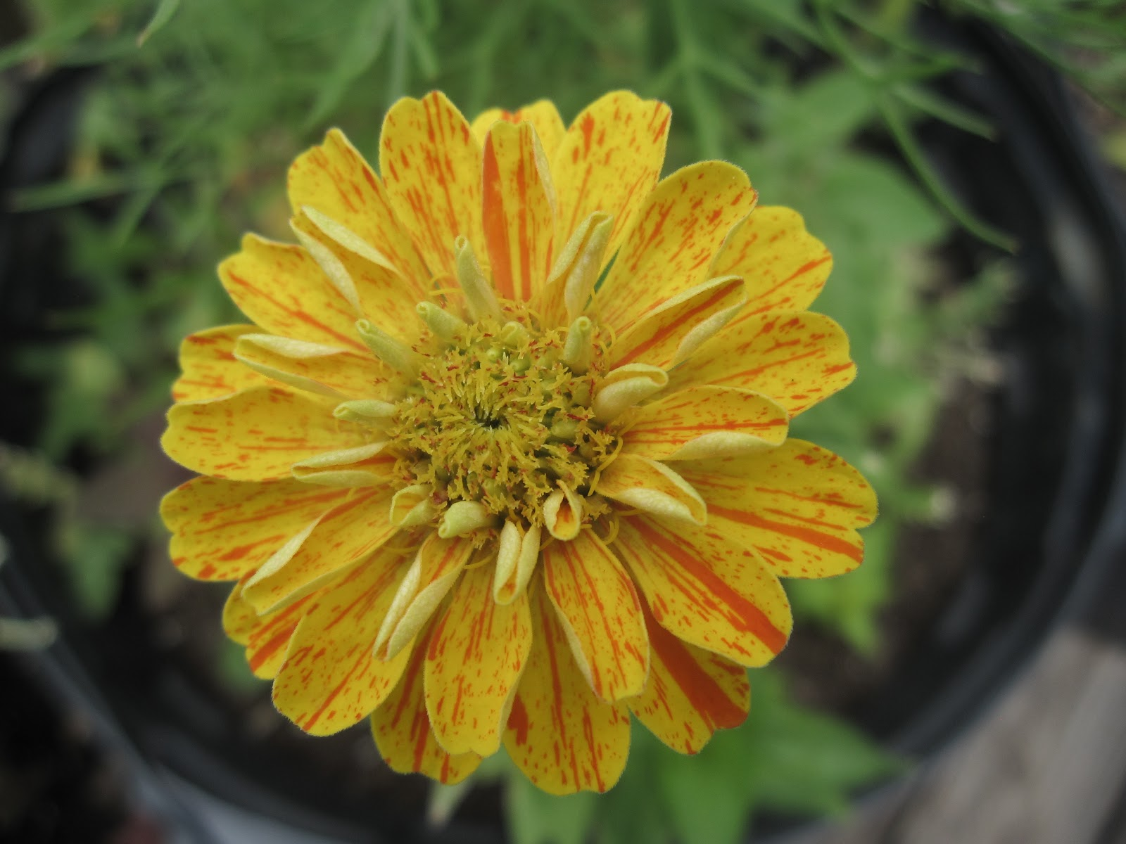 zinnia varietiesZinnia Varieties
