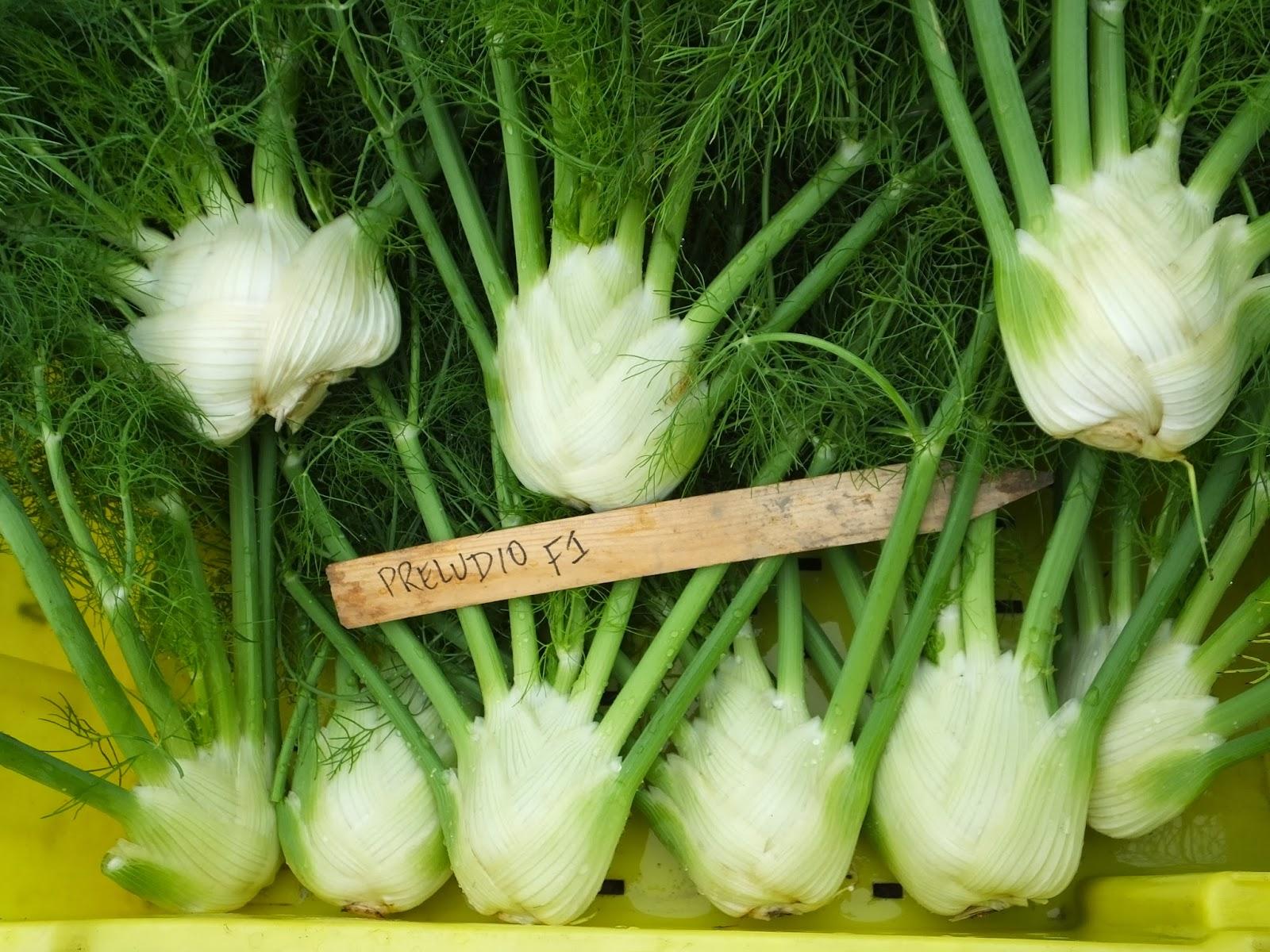 Variety Highlight: Fennel Preludio F1   Osborne Seed Company ...