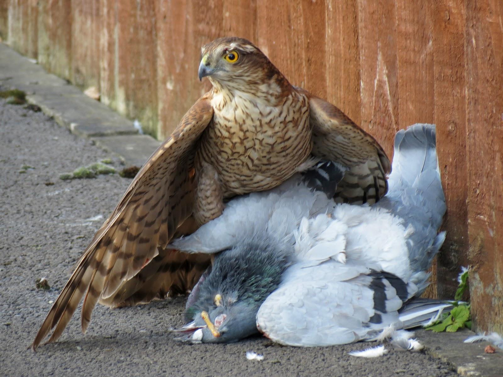 Col 39 s digiscope blog bittern and sparrowhawk for Dissuasori piccioni amazon