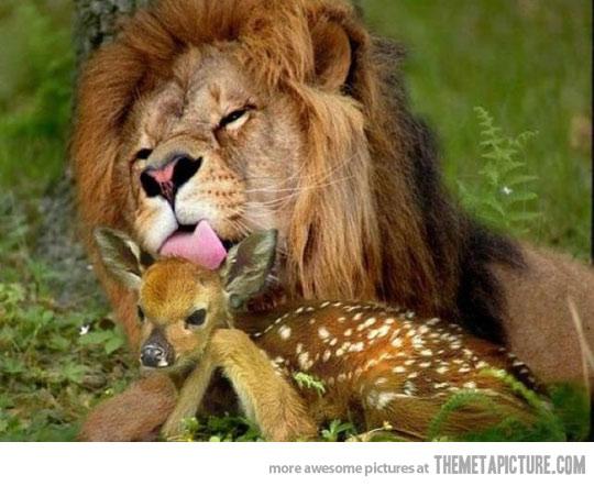 غریزه Funny Pictures Gallery: Funny lion, lion pictures, lion ...