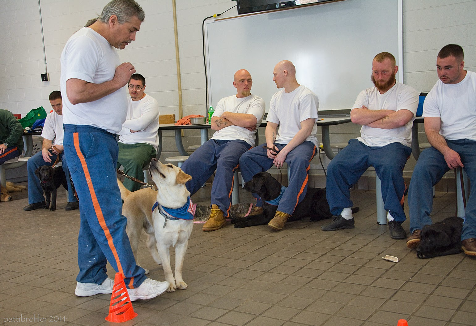 A man wearing the blue prison pants and a white t-shirt is walking by some orange cones on the tile floor with a yellow lab, who is wearing the blue Future Leader Dog bandana. The man is looking down at the puppy with his right hand in a fist up high on his chest. The puppy is slightly in front of the man, looking up at his hand. The leash is fairly tight. There are six men sitting on the lunchroom table seats in the background, all are wearing white t-shirts and blue prison pants, except one man has green pants. There are three black lab puppies underneath three of the men. The puppy on the far left is standing, the other two are lying down. There is also a chew toy on the floor in front of the puppy on the right.