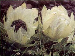 bunga teratai salju