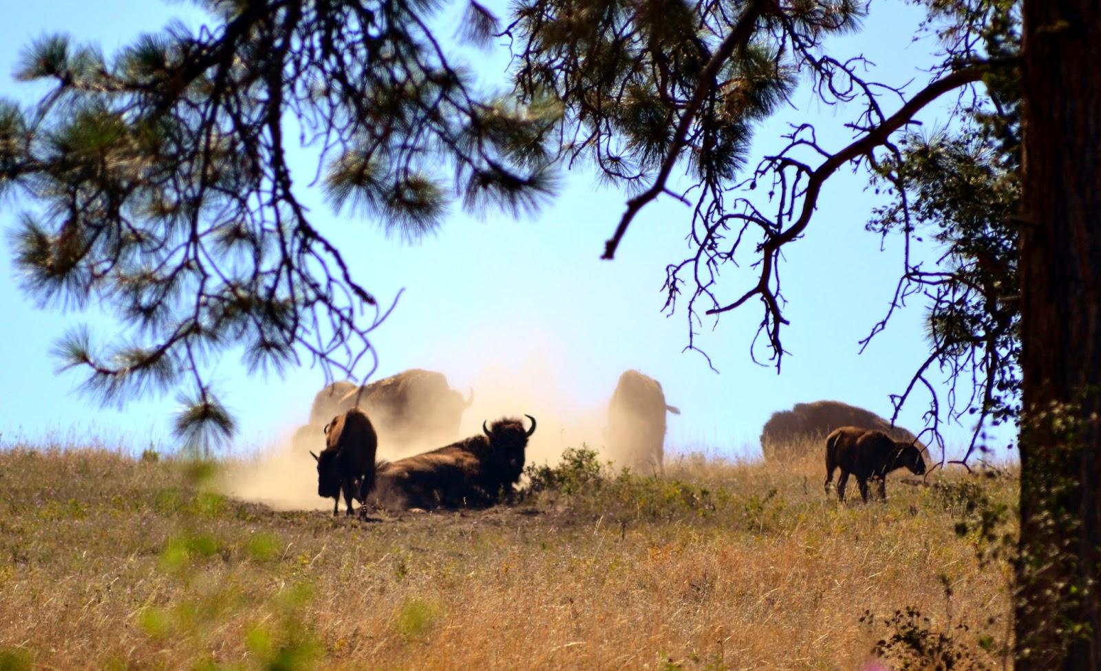 Bison herd, Montana