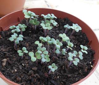 plantulas de mostaza blanca