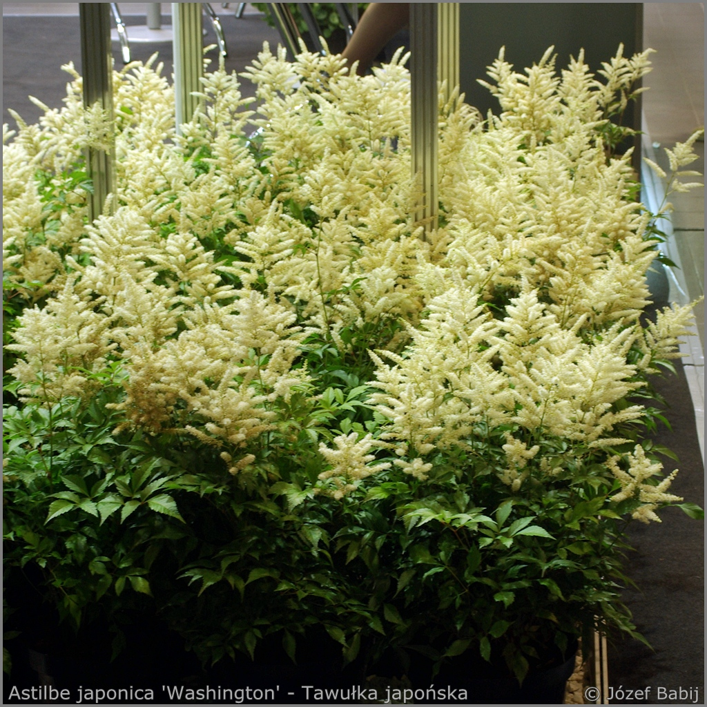 Astilbe japonica 'Washington' - Tawułka japońska 'Washington'
