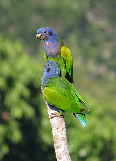Blue-headed Parrot by Rich Hoyer