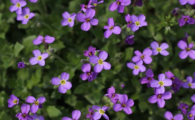 Aubretia Flowers Pictures