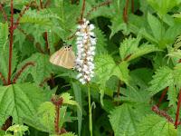 蝶が蜜を吸うイブキトラノオ(伊吹虎の尾)