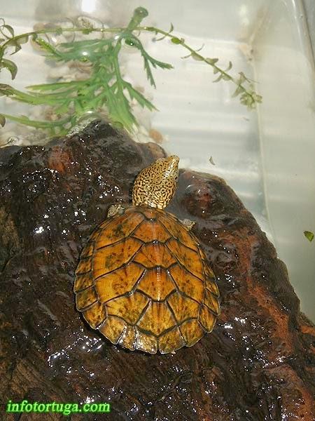 Sternotherus minor peltifer