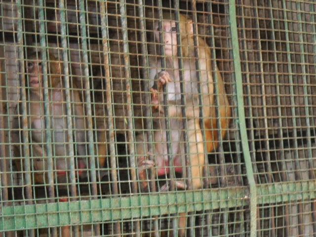 monkey rasala nature park