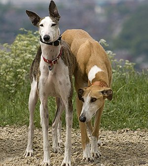 Greyhound Puppies on Dog Wallpapers Album  Greyhound Dog Breed Pictures