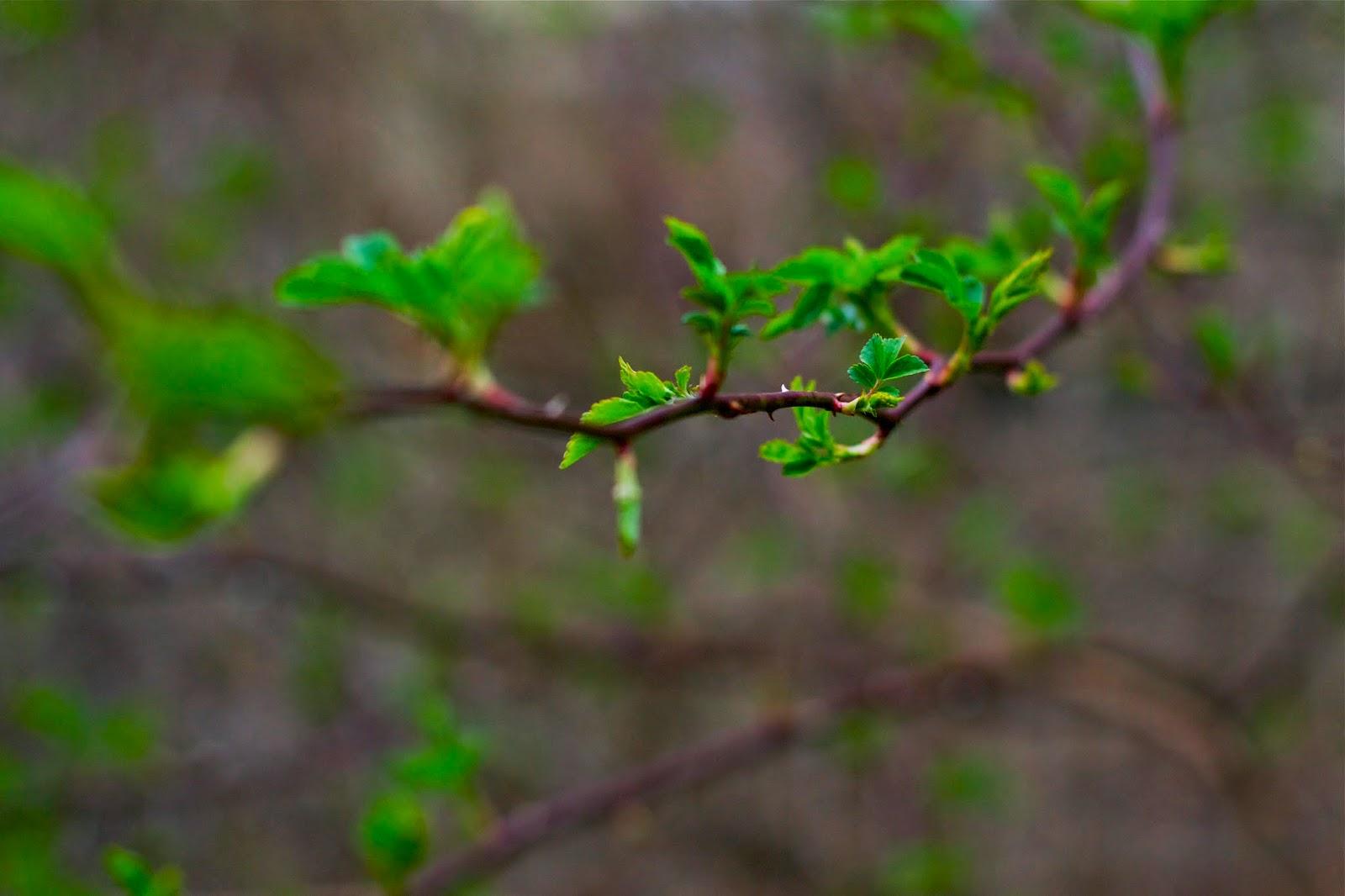 Wild rose branch.