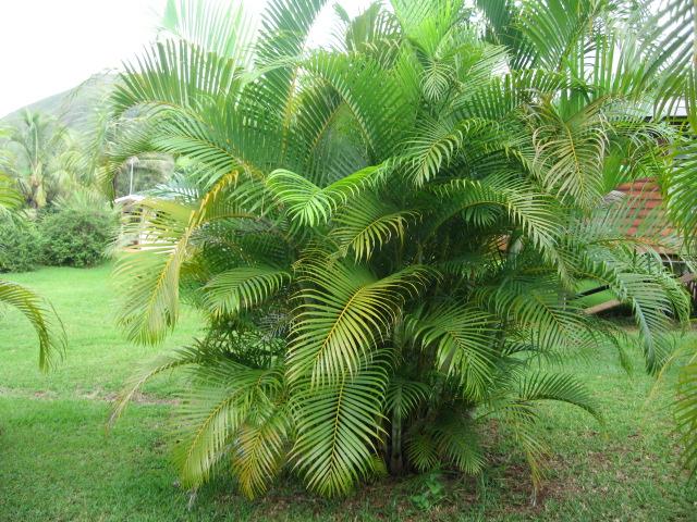 Palmier multipliant flore de l le de la r union for Entretien palmier exterieur