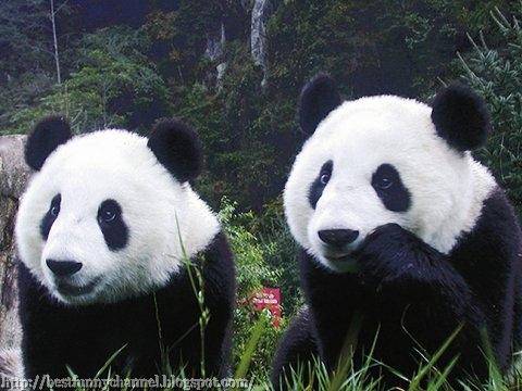 panda bears pictures 35