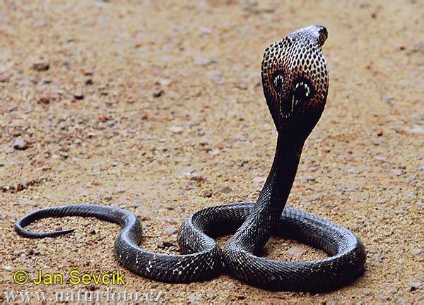 Indian king cobra snake images