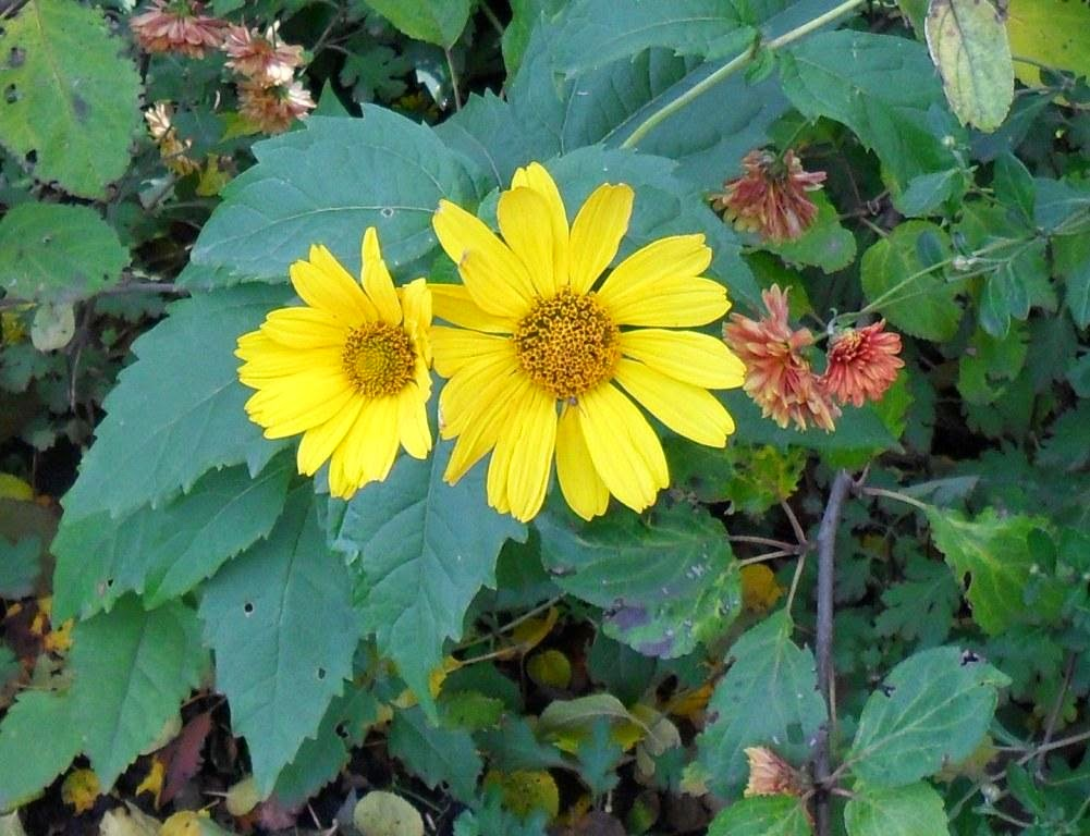 .Осенние цветы и в октябре по-прежнему радуют глаз