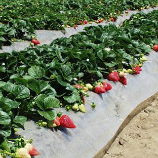 Высокоурожайный сорт селекции США  Монтерей