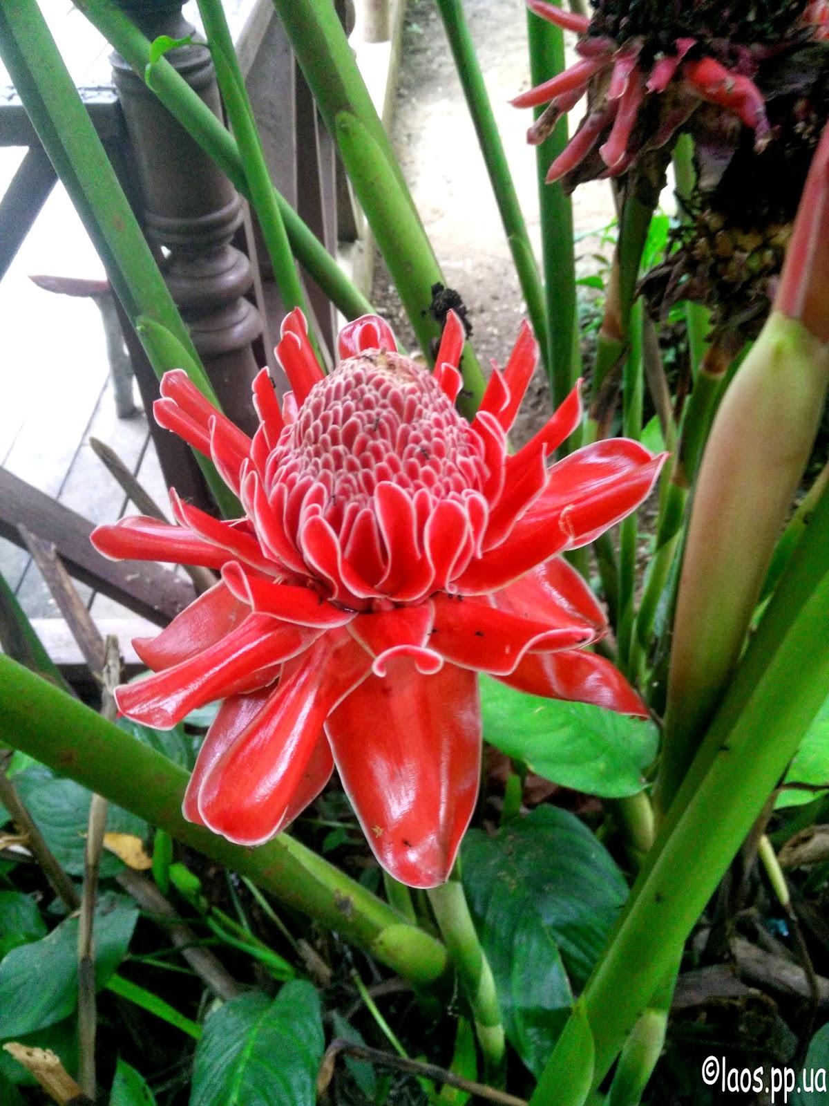 Цветок в Лаосе