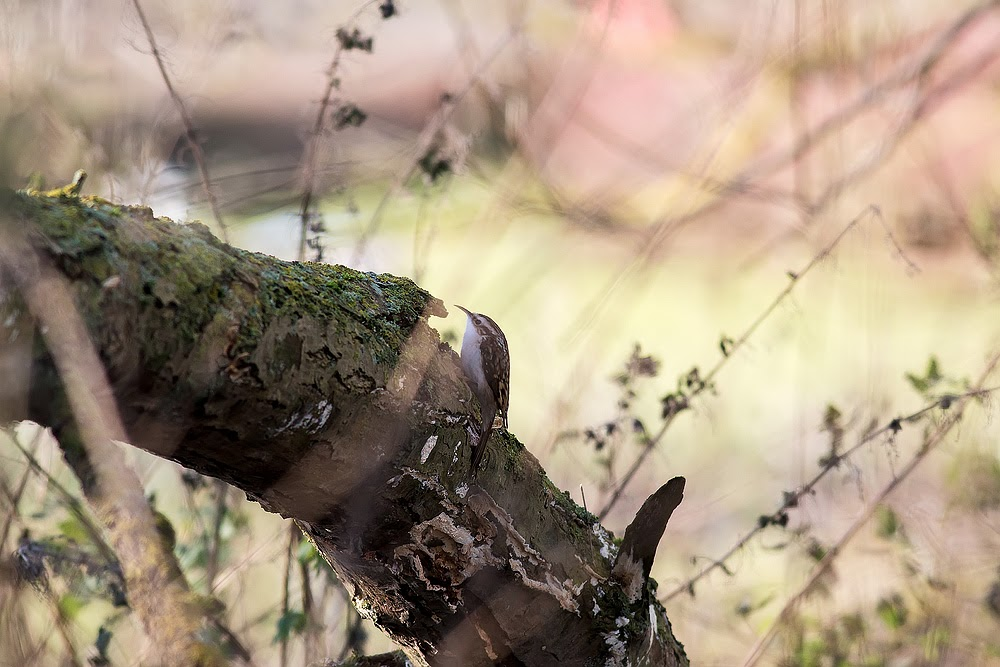 Treecreeper - Manor Farm, Milton Keynes