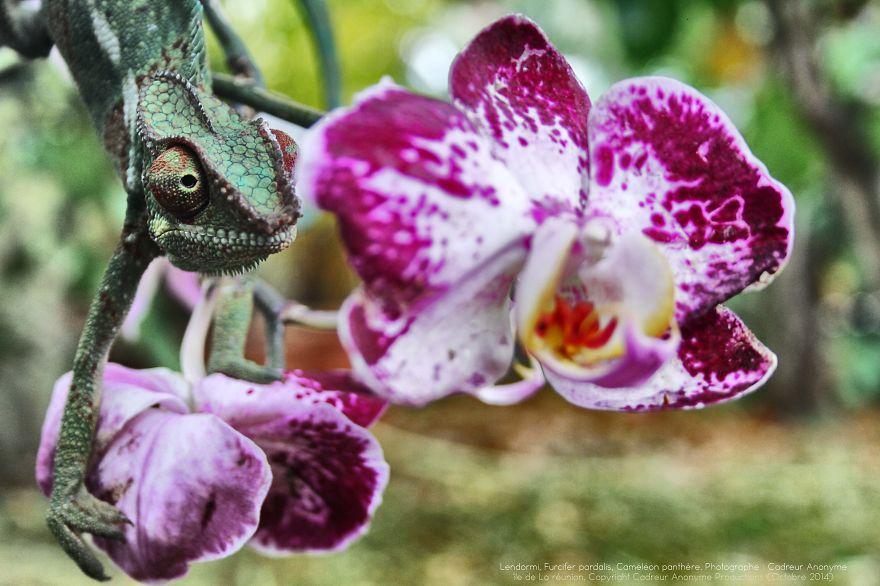 A beleza exótica do Camaleão Pantera