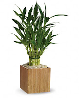Bamboo Plants1