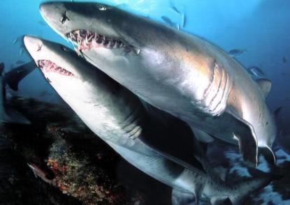 Imágenes de tiburones reales dentro del agua